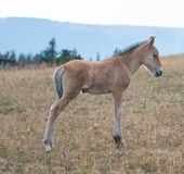 Wilde Pferde - Babyfohlencolt auf Sykes Ridge in der Pryor-Gebirgswildes Pferdestrecke auf der Grenze von Montana und von Wyoming lizenzfreie stockfotos