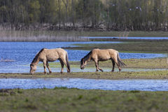 Wilde Pferde bei Oostvaardersplassen die Niederlande Stockfotografie