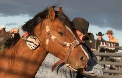 Wilde Pferde am Berufsrodeo Stockbild