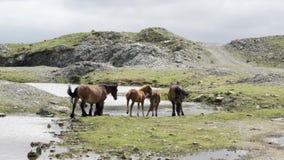 Wilde Pferde Browns auf ein Gebirgstrinkwasser aus einer Quelle Galizien Spanien heraus stock footage