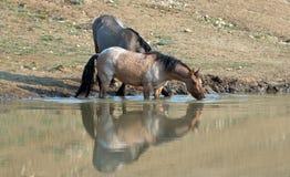 Wilde Pferde - Bucht erstrecken sich die roten Roan- und Grulla-Stuten, die am waterhole im Pryor-Gebirgswilden Pferd trinken, in Stockfoto