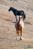 Wilde Pferde - Bucht-Hengst mit Flamme auf Haupt- und schwarzem Hengst im Hintergrund in der Pryor-Gebirgswildes Pferdestrecke in Lizenzfreies Stockbild