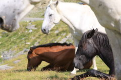 Wilde Pferde in den Bergen Stockfotografie
