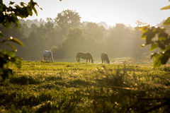Wilde Pferde in den Bergen bei Sonnenaufgang Stockfotos