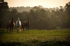 Wilde Pferde in den Bergen bei Sonnenaufgang Stockfoto