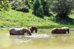 Wilde Pferde in den katalanischen Pyrenäen, Spanien Stockfotografie