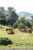 Wilde Pferde in den katalanischen Pyrenäen, Spanien Stockbild