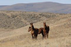 Wilde Pferde in den weit geöffneten Plätzen Lizenzfreies Stockbild