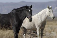 Wilde Pferde in der Kalifornien-Wüste Lizenzfreies Stockfoto