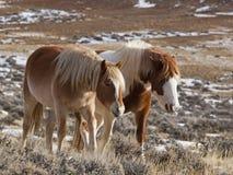Wilde Pferde der Stute und des Colts in Wyoming Stockbild