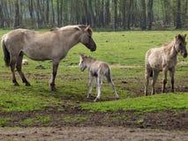 Wilde Pferde in Deutschland lizenzfreie stockfotografie