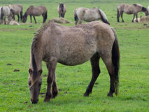 Wilde Pferde in Deutschland stockfoto