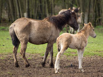 Wilde Pferde in Deutschland lizenzfreie stockfotos