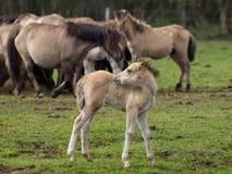 Wilde Pferde in Deutschland lizenzfreies stockfoto