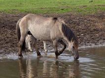 Wilde Pferde in Deutschland stockfotografie