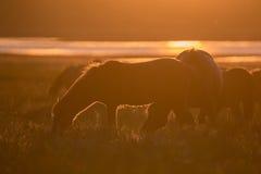 Wilde Pferde, die auf Sommerwiese bei Sonnenuntergang weiden lassen Lizenzfreies Stockbild