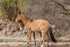 Wilde Pferde, die in der Arizona-Wüste sich auseinander setzen stockfotografie