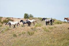 Wilde Pferde, die eine Brise fangen Stockbilder