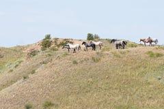 Wilde Pferde, die eine Brise fangen Stockfotos