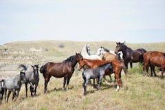 Wilde Pferde, die eine Brise fangen Stockfotografie