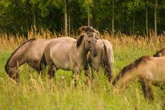 Wilde Pferde, die in einer Wiese weiden lassen Lizenzfreies Stockfoto