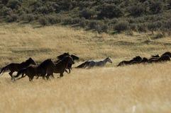 Wilde Pferde, die in hohes Gras laufen lizenzfreie stockfotografie