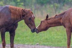 Wilde Pferde, die im Regen küssen Stockfotos
