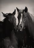 Wilde Pferde, die im Sepia spielen Stockfoto