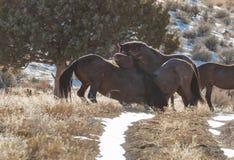 Wilde Pferde, die im Winter in Utah sich auseinander setzen stockbilder
