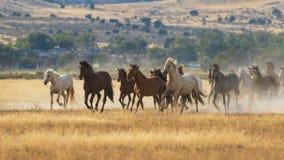 Wilde Pferde, die in die Utah-Wüste laufen stockbild