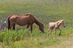 Wilde Pferde: eine Stute und ein neugeborenes Fohlen Stockbilder