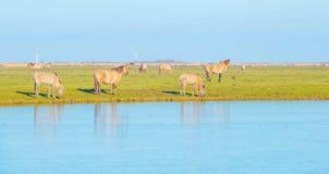 Wilde Pferde in einer gefrorenen Landschaft im Winter im Sonnenlicht Lizenzfreies Stockfoto