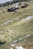 Wilde Pferde in einer Herde auf einer grünen Weide und einem Felshügel Lizenzfreie Stockbilder