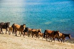 Wilde Pferde galoppieren entlang den See Lizenzfreie Stockfotos