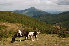 Wilde Pferde im Baskenland, Frankreich Lizenzfreies Stockfoto