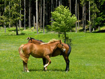 Wilde Pferde im Berg Stockfoto