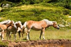 Wilde Pferde im Nationalpark von Adamello Brenta Lizenzfreies Stockfoto
