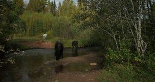 Wilde Pferde im Wasser auf Teich stock video footage
