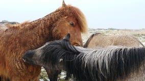Wilde Pferde in Island 4K schließen oben stock video