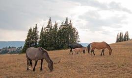 Wilde Pferde - kleine Herde mit dem Babyfohlencolt, der bei Sonnenuntergang in der Pryor-Gebirgswildes Pferdestrecke in Montana U Lizenzfreie Stockfotos