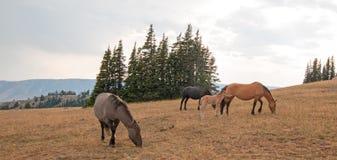 Wilde Pferde - kleine Herde mit dem Babyfohlencolt, der bei Sonnenuntergang in der Pryor-Gebirgswildes Pferdestrecke in Montana U Lizenzfreies Stockfoto