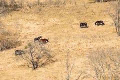 Wilde Pferde lassen auf dem trockenen Herbstgebiet weiden lizenzfreie stockfotos