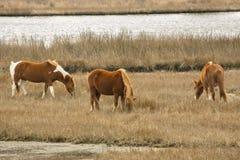 Wilde Pferde lassen Sumpfgräser auf Assateague-Insel, Maryland weiden Lizenzfreie Stockfotos