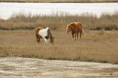 Wilde Pferde lassen Sumpfgräser auf Assateague-Insel, Maryland weiden Lizenzfreies Stockbild