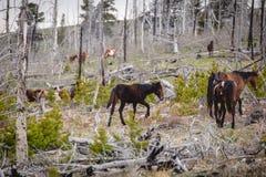 Wilde Pferde laufen gelassen durch den Wald Stockfotos