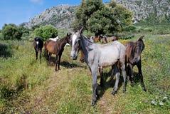 Wilde Pferde nähern sich Casares, Spanien. Lizenzfreie Stockfotografie