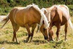 Wilde Pferde - Nationalpark von Adamello Brenta Stockfoto