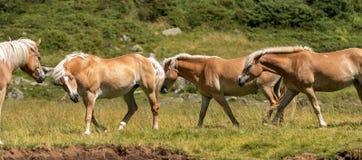 Wilde Pferde - Nationalpark von Adamello Brenta Lizenzfreies Stockfoto