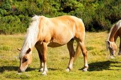 Wilde Pferde - Nationalpark von Adamello Brenta Stockbild