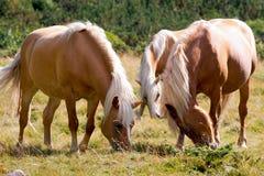 Wilde Pferde - Nationalpark von Adamello Brenta Lizenzfreie Stockfotografie